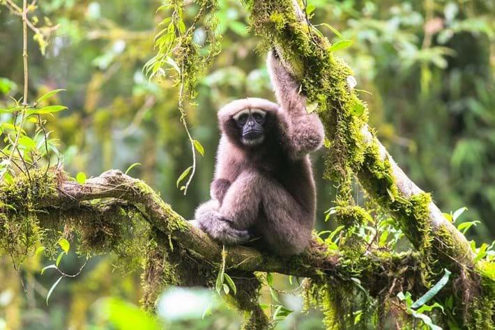 new-gibbon-species-thumb_2017_01_11.jpg