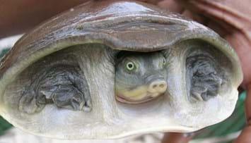 indian-turtle-2-2016-01-13.jpg