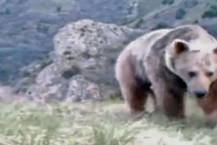 First Syrian brown bear in 60 years caught on camera in Lebanon