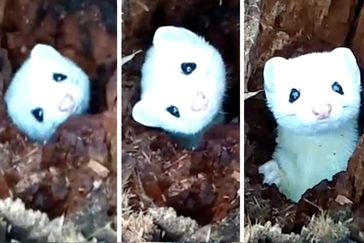 Bad day? Ermine to the rescue