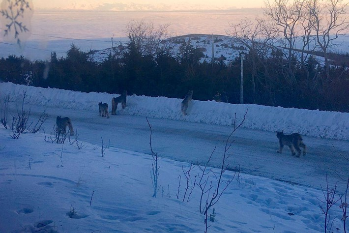 Lynx family strolls down the street in Alaska