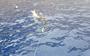 Great white shark 'Luca' gulps down a gull