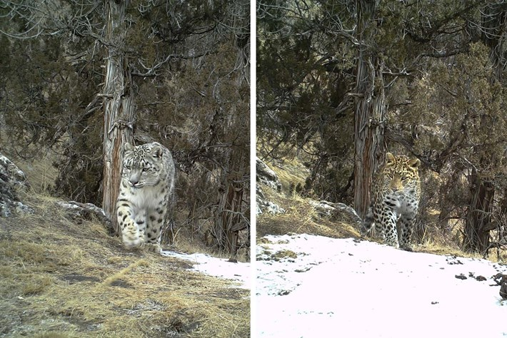 Snow_leopard_and_leopard_2017-01-24.jpg