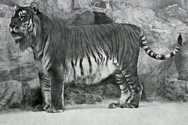 caspian-tiger-thumb_2017_01_24.jpg