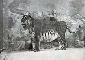 caspian-tiger-at-zoo_2017_01_24.jpg