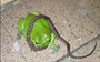 Green tree frog turns a baby python into a snack (VIDEO)