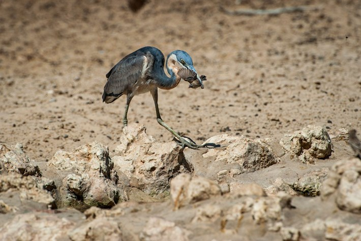 heron_eating_finch_1_2017-01-25.jpg