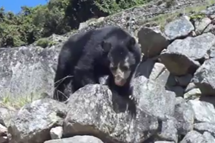 Andean-bear-1-2017-01-31.png