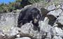 Andean bear takes a stroll among Machu Picchu tourists