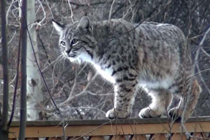 bobcat-fence-thumb_2017_02_03.jpg