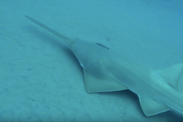 Diver encounters 10 sawfish off the Florida coast (VIDEO)