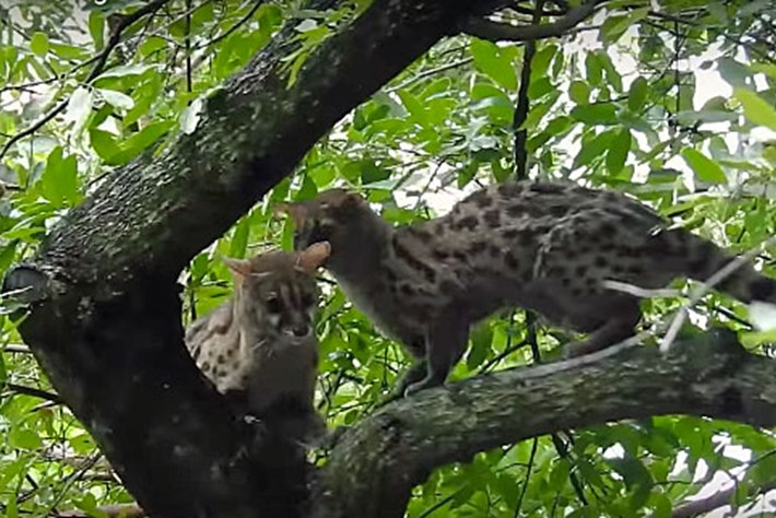 genet-mating_thumb_2017_02_06.jpg