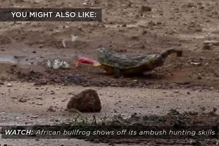 bull-frog_related_06_02_17.jpg