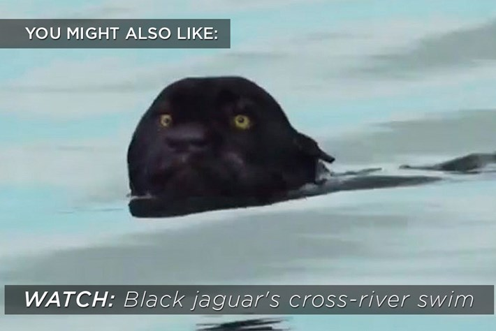 black_jaguar_2017_02_08.jpg