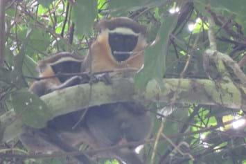 Dryas monkeys_2017_02_17.jpg