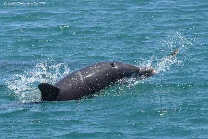 Huubster dolphin2_2017_02_17.jpg