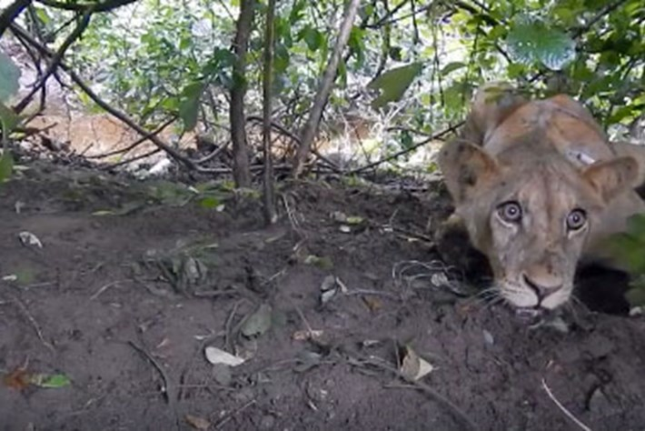 Watch: Young lion in Zimbabwe rescued from illegal snare