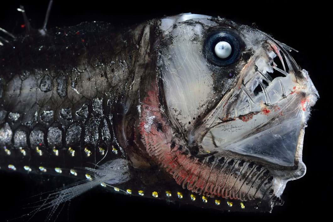 sloan's-viperfish_2017_02_14.jpg