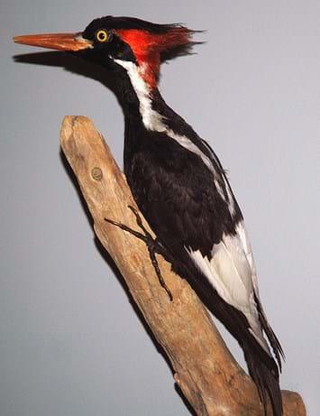 woodpecker-specimen_2017_02_17.jpg