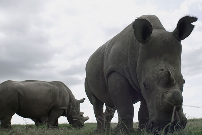 Facing extinction:  An encounter with the last northern white rhinos