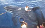 Indonesian fishermen jump in to rescue tangled orca (VIDEO)