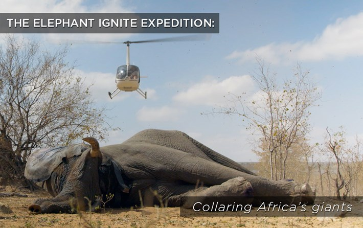 Collaring-Africas-Giants_related_2017_02_23.jpg