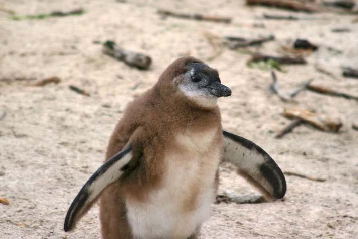 african-penguin-chick_2017_02_24.jpg