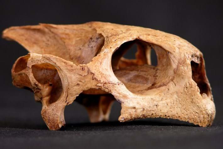 Bahamian tortoise skull_2017_02_27.jpg