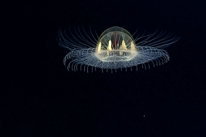 Why does this 'cosmic jelly' have upside-down tentacles? (Video)