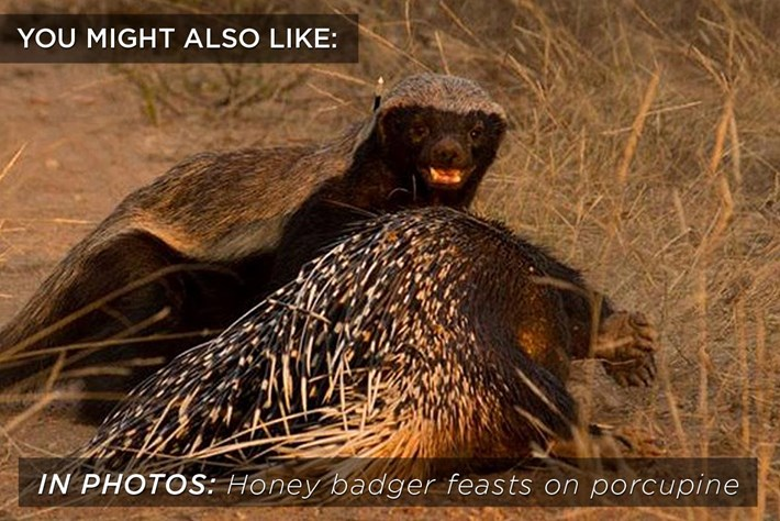 badger_porcupine_related_content_2017-03-01.jpg