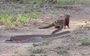 Fear me! Dwarf mongoose steps up to a black mamba (video)