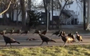 Gobble, gobble, fowl and trouble: What the hex are these turkeys doing?
