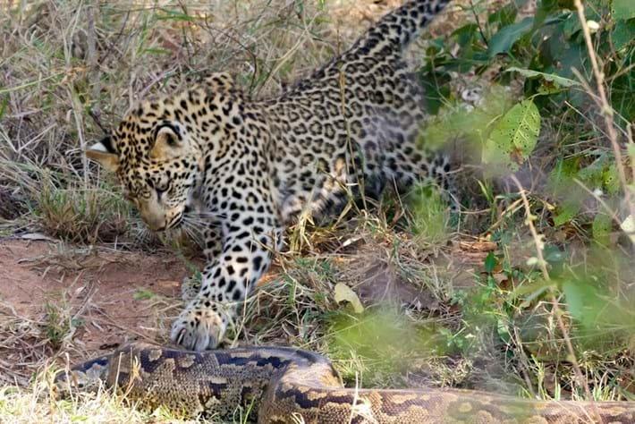 Leopard_python_edit_2017-03-08.jpg