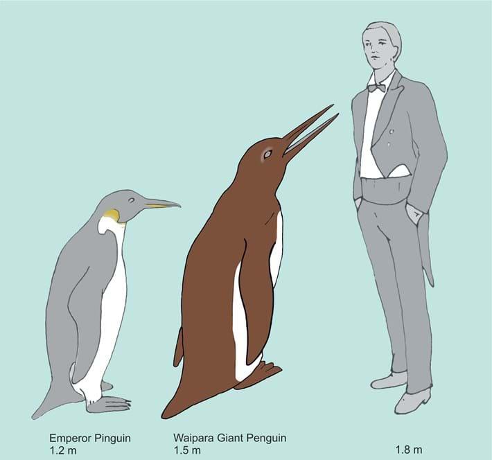 Waipara_Penguin_Size_2017_03_10.jpg