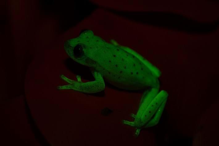 Glowing_frog_side_2017_03_13.jpg