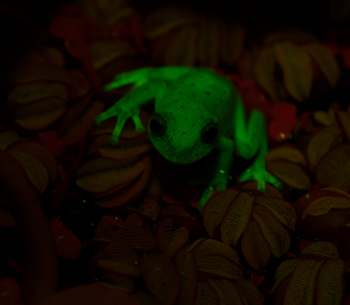 Glowing_Frog_front_2017_03_13.png
