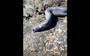 Hagfish, master of slime, gets into trouble in Chile (VIDEO)