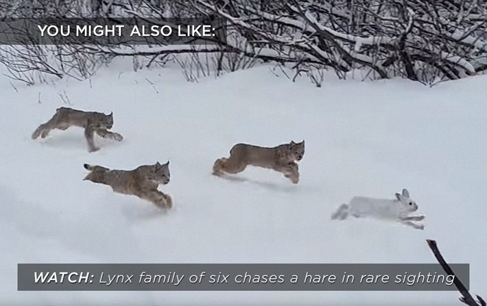 lynx-hare-chase_related_16_03_17.jpg