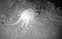 Skunk defends deer carcass from a mountain lion (Video)