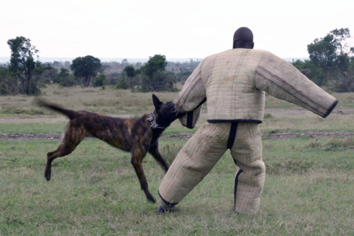 Malinois on a mission: Meet the dogs who fight poachers in Kenya