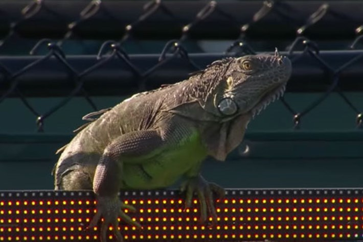 Watch: Green iguana takes to the court at Miami Open