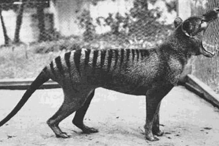 Benjamin-thylacine_2017_03_29.jpg