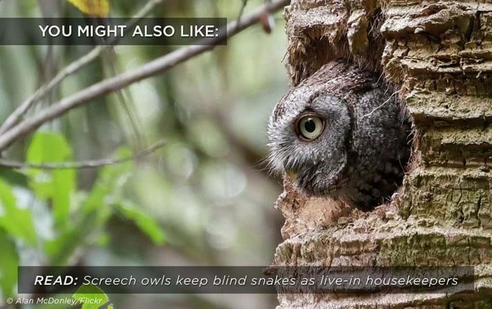 screech-owl_related_30_03_17.jpg