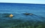 Dolphin and dog seen swimming together, are they really playing?