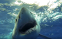 Meet 'Gums', the great white shark with an adorably toothless grin