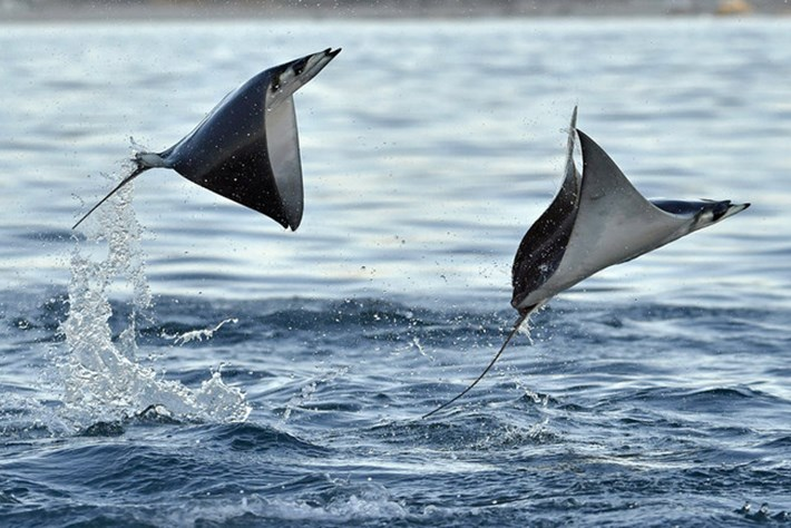 Devil rays get worldwide protection – and genetic tools could catch out illegal traders