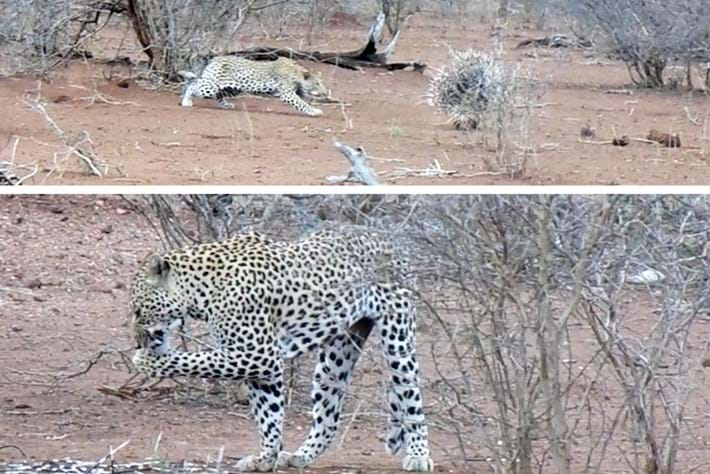 leopard_porcupine_2017-04-11.jpg