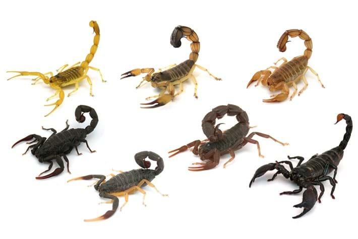 Scorpion_species_in_study_2017_04_13.jpg