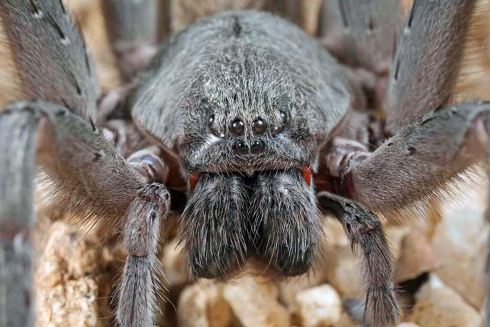 This surprisingly huge, cave-dwelling spider is a brand new species