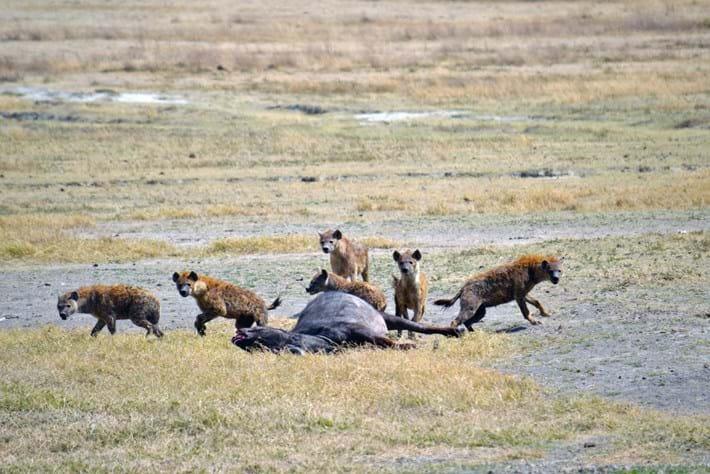 hyenas-at-carcass_2017_04_18.jpg